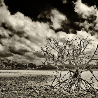 Dead Mangrove on the beach on Hamilton Island